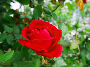 バラ ローズ 深紅のバラ