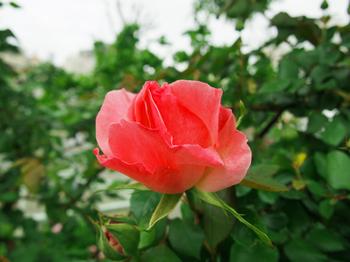 バラ 薔薇 ピンクの薔薇