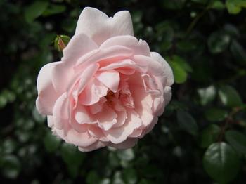 バラ 薔薇 ローズ フリー 画像