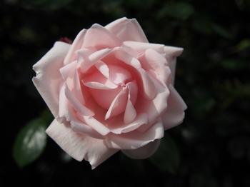 薔薇 バラ ローズ