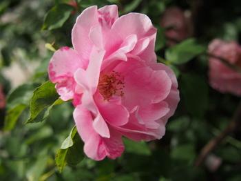 バラ 薔薇 ローズ フリー画像 フリー写真