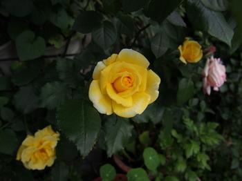 ばら 薔薇の花 フリー画像 フリー写真