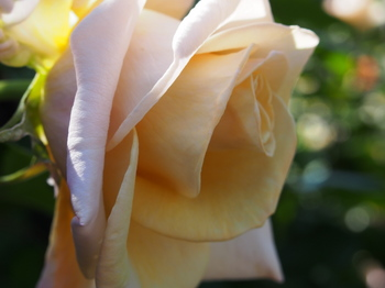薔薇 ばら 花 フリー画像 freeimage