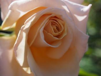 ばら 薔薇 フリー画像 フリー 写真