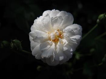 薔薇 バラ フリー画像 フリー 写真