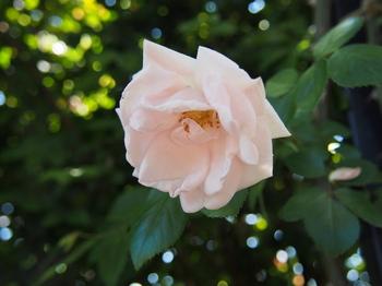 バラ バラのフリー画像 フリー写真